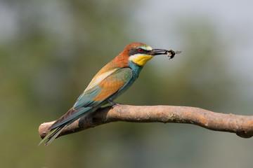 Gruccione con bombo nel becco (Merops apiaster)