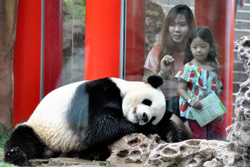Visitors sit beside Giant Panda from China, Cai Tao, as they visit Indonesia Safari Park in Bogor