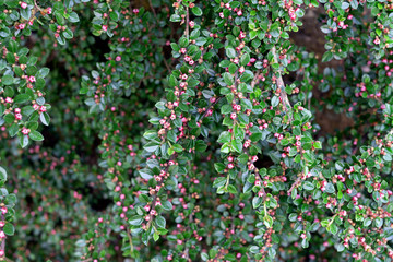 bearberry, arctostaphylos uva-ursi,in the garden in summer