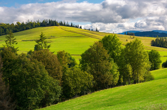 woodlot on a grassy hillside. footpath leads uphill in to the spruce forest. beautiful countryside scenery