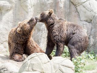 Couple playing Kamchatka Brown Bear