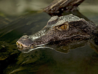 Paleosuchus palpebrosus, Dwarf caiman