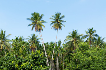 Beautiful two coconut palms trees in the Tropical forest with blue sky at Island in Thailand