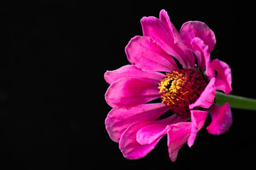 The flower of the zinnia major bright on a black background