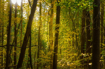 Thick Forest with Sunlight Filtrering Through the tall Trees on a Fall Day
