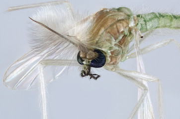 Extreme macro portrait of a Chironomidae mosquito, which is often called a lake fly, chironomid or a nonbiting midge.