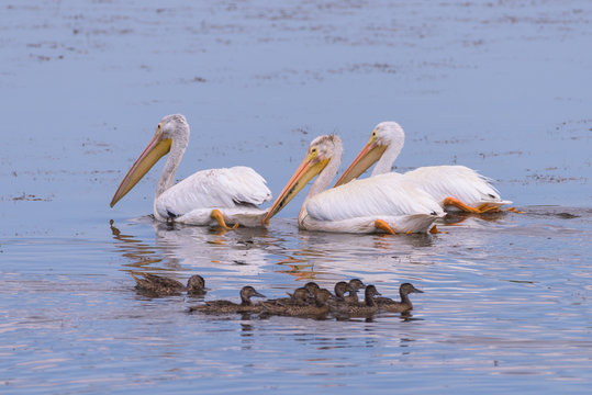 A group of American White Pelicans swimming in a lake.