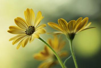 Fototapeta Żółte kwiaty obraz
