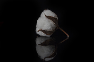 cotton flower on black background