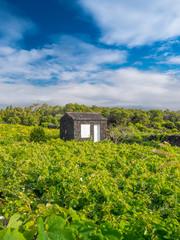 Azorean vineyard