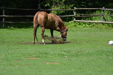horses playing in a puddle