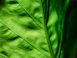 Macro close-up detail of green leaf illuminated from behind with visible veins structure network