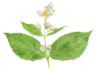 Hand drawn watercolor botanical painting of Philadelphus coronarius isolated on white background. Floral illustration for design greeting cards, wedding invitations, packaging and textile. Jasmine.