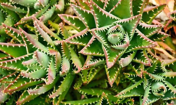 Aloe brevifolia with full frame