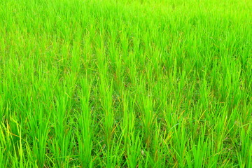 Rice green field at agricultural area at central Java, Indonesia