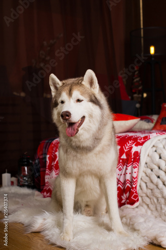 portrait of beautiful siberian husky dog sitting in the christmas decorations - Husky Christmas Decoration