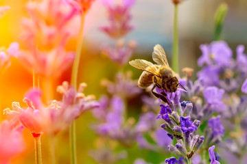 Papiers peints Bee The bee pollinates the lavender flowers. Plant decay with insects.