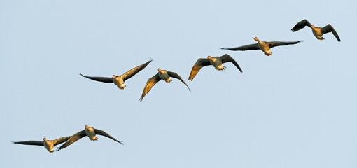 fliegende Graugänse (Anser anser) - Greylag goose