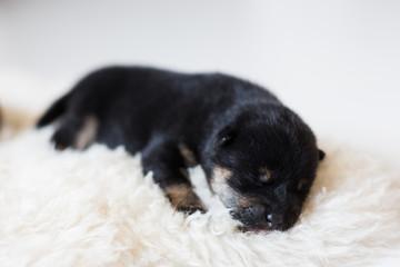 Close-up portrait of cute newborn black and tan Shiba Inu puppy sleeping on the blanket
