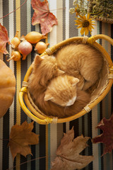 kitten in basket and autumn pumpkins and other fruits and vegetables on a wooden thanksgiving table