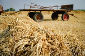 Getreideernte wie früher - Getreidegarben vor altem Erntewagen