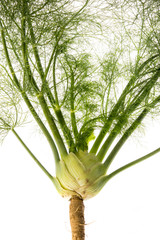 fresh fennel - Foeniculum vulgare isolated on a white background
