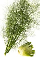 fresh fennel isolated on a white background