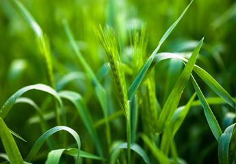 Barley grass or wall barley