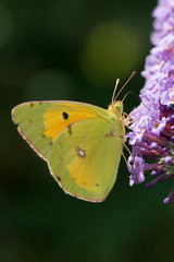 Butterfly on violet flowers | Farfalla su fiori viola