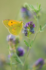 Butterfly on violet flowers | Farfalla su fiori viola