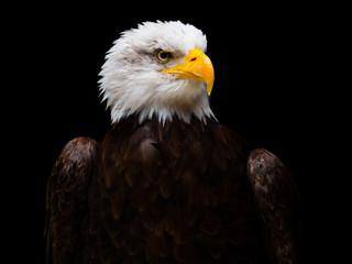 Bald eagle Fotoväggar