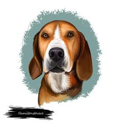Hamiltonstovare, Hamilton Hound, Swedish Foxhound, Hamilton dog digital art illustration isolated on white background. Sweden origin scenthound dog. Pet hand drawn portrait. Graphic clip art design