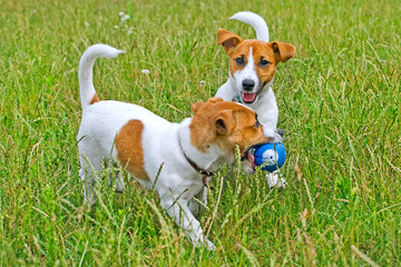 Jack Russell playing in the grass with the ball