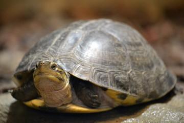 Tortoise/ turtle - selective focus