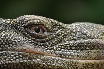 Lizard - head/ close-up