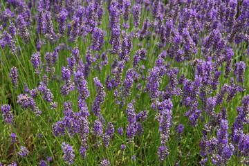 lavender flowers in UK