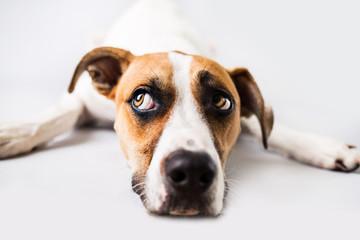 Photo sur Plexiglas Chien Sad dog on isolated white background