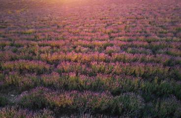 Lavender texture.