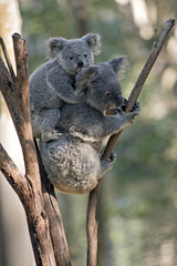 mother koala and joey
