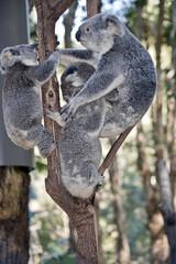 koala and 3 joeys