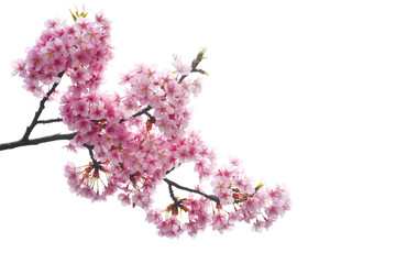 clipping path, close up of pink cherry blossom branch or sakura flowers isolated on white background, copy space