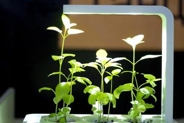 Soilless culture of vegetables under artificial light