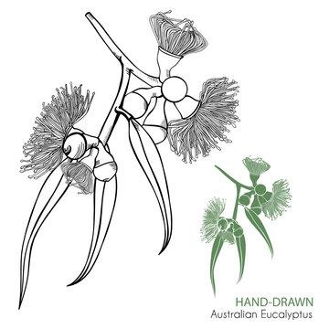 Hand-drawn Flowering Gumtree