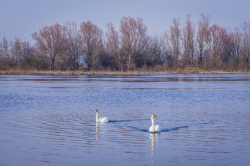 Two mute swans on the River Narew in Mazovia Province of Poland, view near Nowy Dwor Mazowiecki town