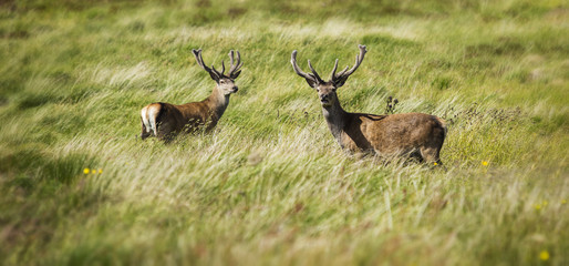 Wild Stags in the Scottish Highlands, Scotland, United Kingdom.