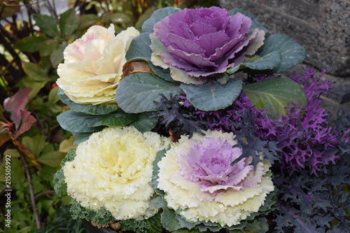 Pretty winter cabbage flowers stock photo and royalty free images pretty winter cabbage flowers mightylinksfo