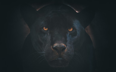 Wall Murals Panther black jaguar
