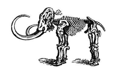 Vintage Wooly Mammoth Skeleton Illustration