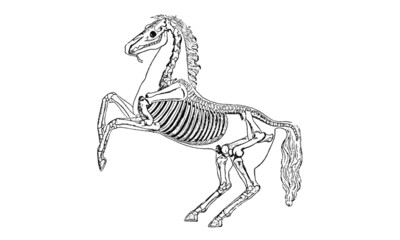 Posing Horse Skeleton Vintage Illustration
