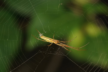 Bottom view of the long-legged spider knitter (lat. Tetragnatha)